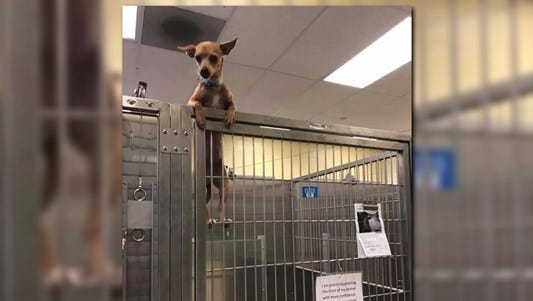 A chihuahua's daring escape attempt while at the Denver Animal Shelter was perfectly captured on camera, and it's adorable.