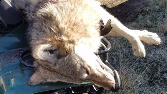Oregon Wild is demanding a more thorough investigation into the shooting of a wolf on Oct. 27, 2017.