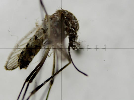 A view through a microscope shows the Aedes aegypti mosquito, which transmits the virus Zika, at a laboratory at the National Institute of Health in Bogota, Colombia.