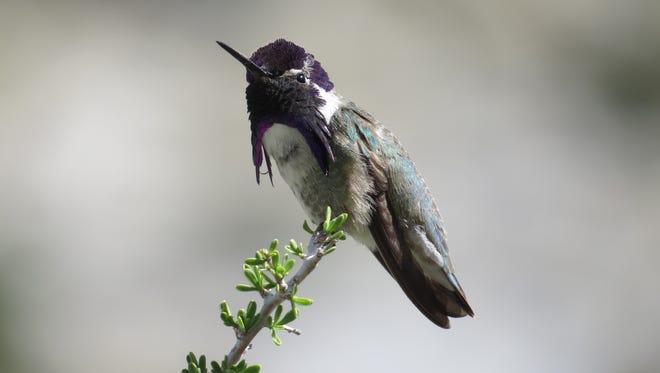 A Costa's hummingbird in Mojave National Preserve.