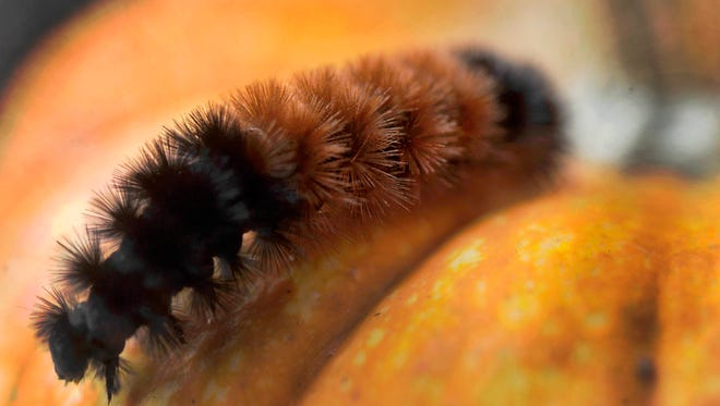 A woolly worm caterpillar walks over a pumpkin on the first day of autumn Tuesday, Sept. 23, 2014, in Paint Township, Pa. (AP Photo/The Tribune-Democrat, Todd Berkey) MANDATORY CREDIT