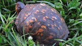 A box turtle spotted recently near a pond in the Town of Poughkeepsie.