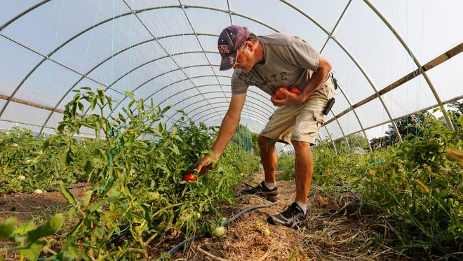 Denny Wimmer harvests tomatoes in a greenhouse on his organic farm in Arispe on July 31, 2014.