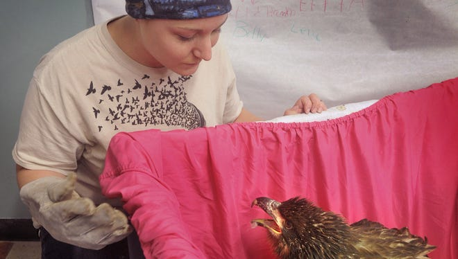 Cassandra Shinpaugh, executive director of Wild Bird Rescue, checks on one of two bald eagles recuperating at the facility. The 4-month-old birds were injured when their nest near Breckenridge was blown from a tree. They are being transferred to a bird of prey conservancy in San Antonio.