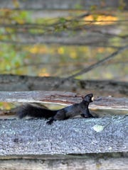 The author was finally able to photograph the remarkable black squirrel.