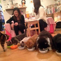 At the Hapineko (Happy Cat) cafe in Tokyo's Shibuya district, customers pay about $13 an hour to hang out with cats. The place is kept spotless and odor-free by several attendants. (Julie Makinen/Los Angeles Times/TNS)