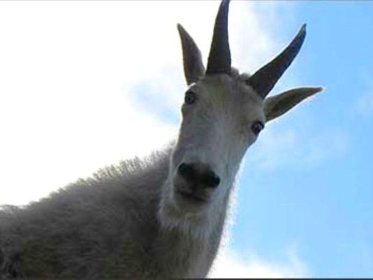 635910011404945271-mtn-goat-generic.jpg