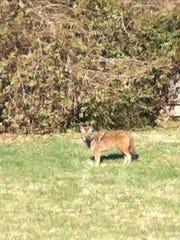 Backyard coyote in St. Matthews.