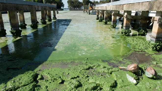 Blue-green algae is seen at Outboards Only in Jensen Beach on July 9, 2016.  Ecosphere Technologies, a Stuart-based company, is in the process of setting up its mobile water treatment system to filter the water and break up toxic algae blooms that have been plaguing areas along the St. Lucie River.