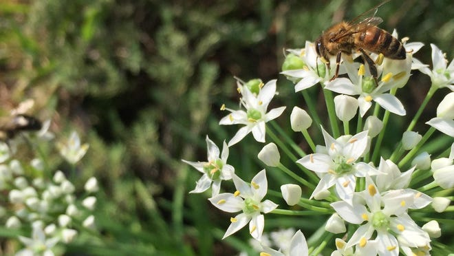 A honeybee on flowering garlic chives