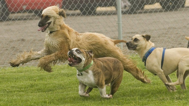 A group of dogs romp at the Canton Dog Park. A new dog park will be popping up in Milford soon.