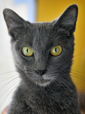 Edna is a 2-year-old, female Russian Blue. She has been vaccinated, spayed and microchipped. Edna is calm and relaxed and likes people more than other cats. She is available for adoption at the Wichita County Humane Society.