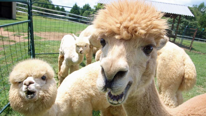Alpacas at the Good Karma Ranch Thursday afternoon, Aug. 6, 2020, on Brevard Place Road in Lincoln County.