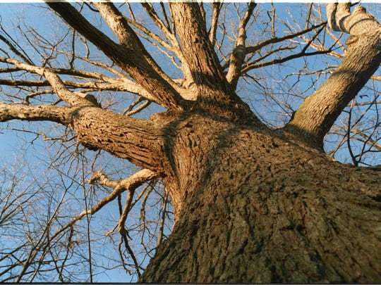 Oak trees are in danger. so a new coalition has been