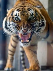 Malayan tiger Bashir shows his teeth to guests at the