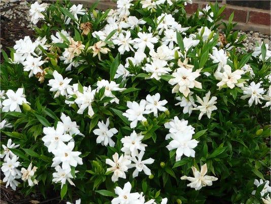 Gardenia Frostproofjpg