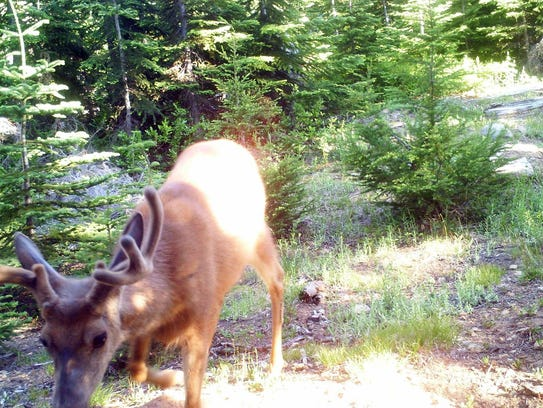 A deer shows up on Dominic Aiello's trail camera, showing