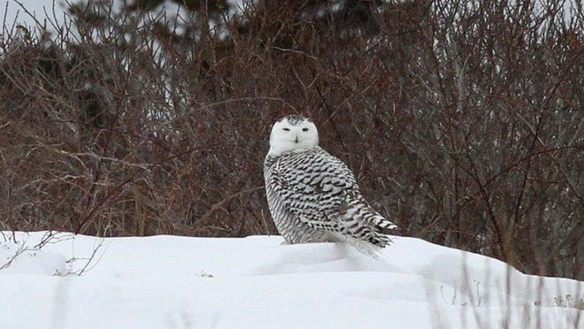 A snowy owl stops at Sachuest Point National Wildlife Refuge in 2014. The Middletown refuge's popularity with bird-watchers, hikers and nature-lovers has prompted concerns about the safety of allowing hunting there.