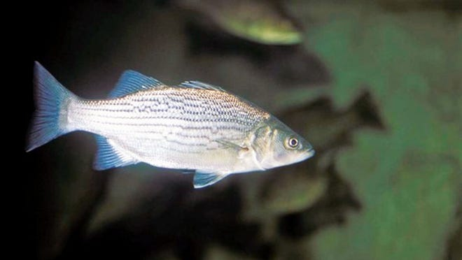 People can learn how to fish for white bass at a free Missouri Department of Conservation online program on January 12.