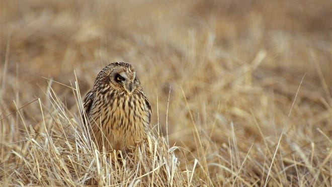 Their name, short-eared, comes from the small feather tufts on top of their head, but these aren't ears. A short-eared owl's ears are located within its facial disc.