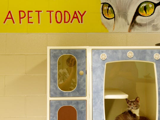 A cat available for adoption at Caddo Parish Animal Services