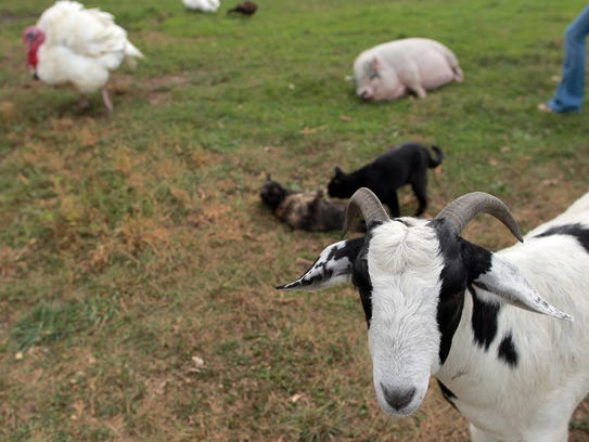 Rescued farm animals roam the Iowa Farm Sanctuary in