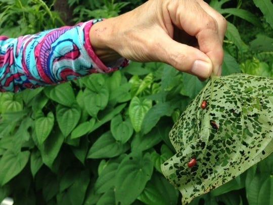 Air potato beetles feeding on an air potato leaf.