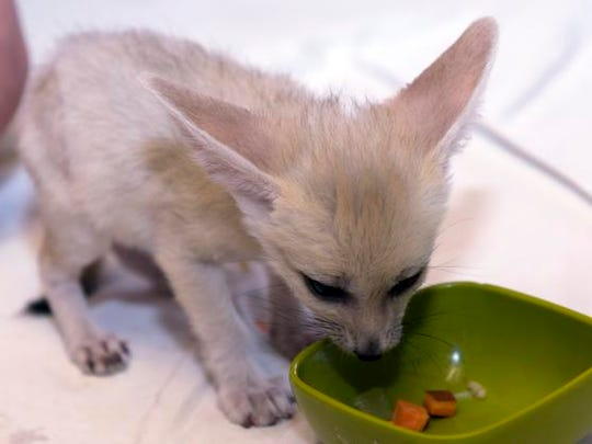 The Living Desert zoo in Palm Desert welcomed four tawny fennec foxes.