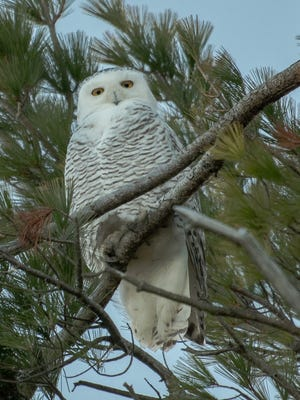 More than 100 snowy owls have been reported in Wisconsin including a few seen in Sheboygan County. This female snowy owl picture was taken by Dave Bruggink from his Black River home overlooking Lake Michigan on Thursday, Nov. 30.