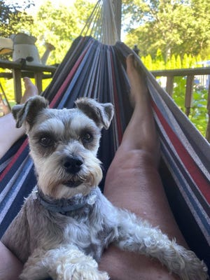 Olivia, a 9-year-old toy schnauzer belonging to Rhonda and Michael Thomas of Dighton, was killed by  a pit bull belonging to Dighton Police Officer James Duddy in August 2020.  Submitted photo