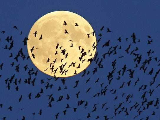 A flock of birds fly by as a super moon rises in Mir,