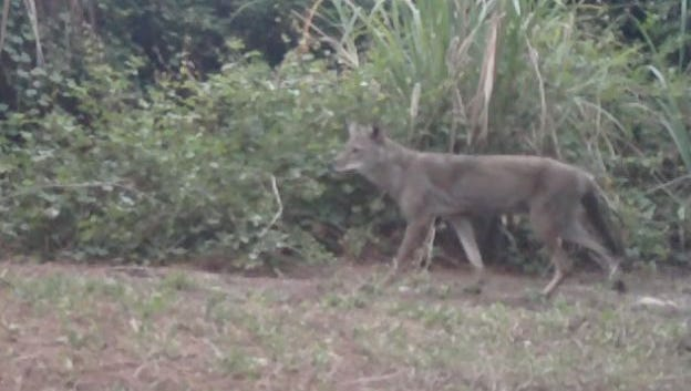A coyote prowls a backyard in Merritt Island in this 2012 file photo.