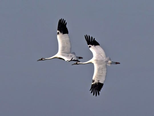 The endangered whooping crane is internationally protected and harming one is a violation of the U.S. Migratory Bird Treaty Act.