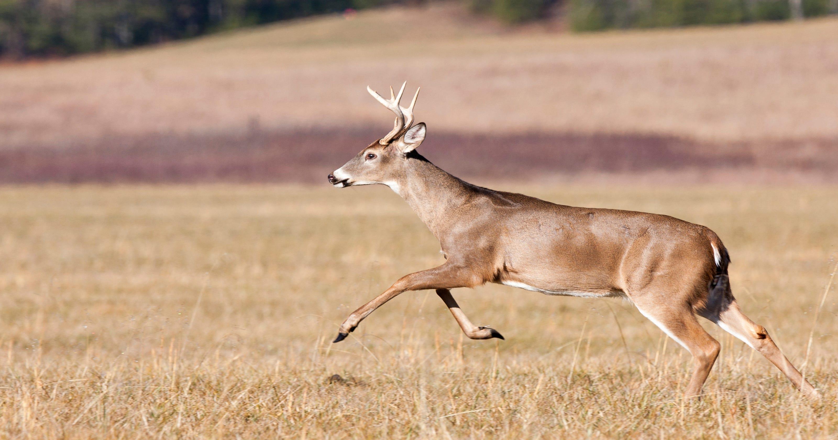 Hey Answer Man! Why do so many deer run into traffic?