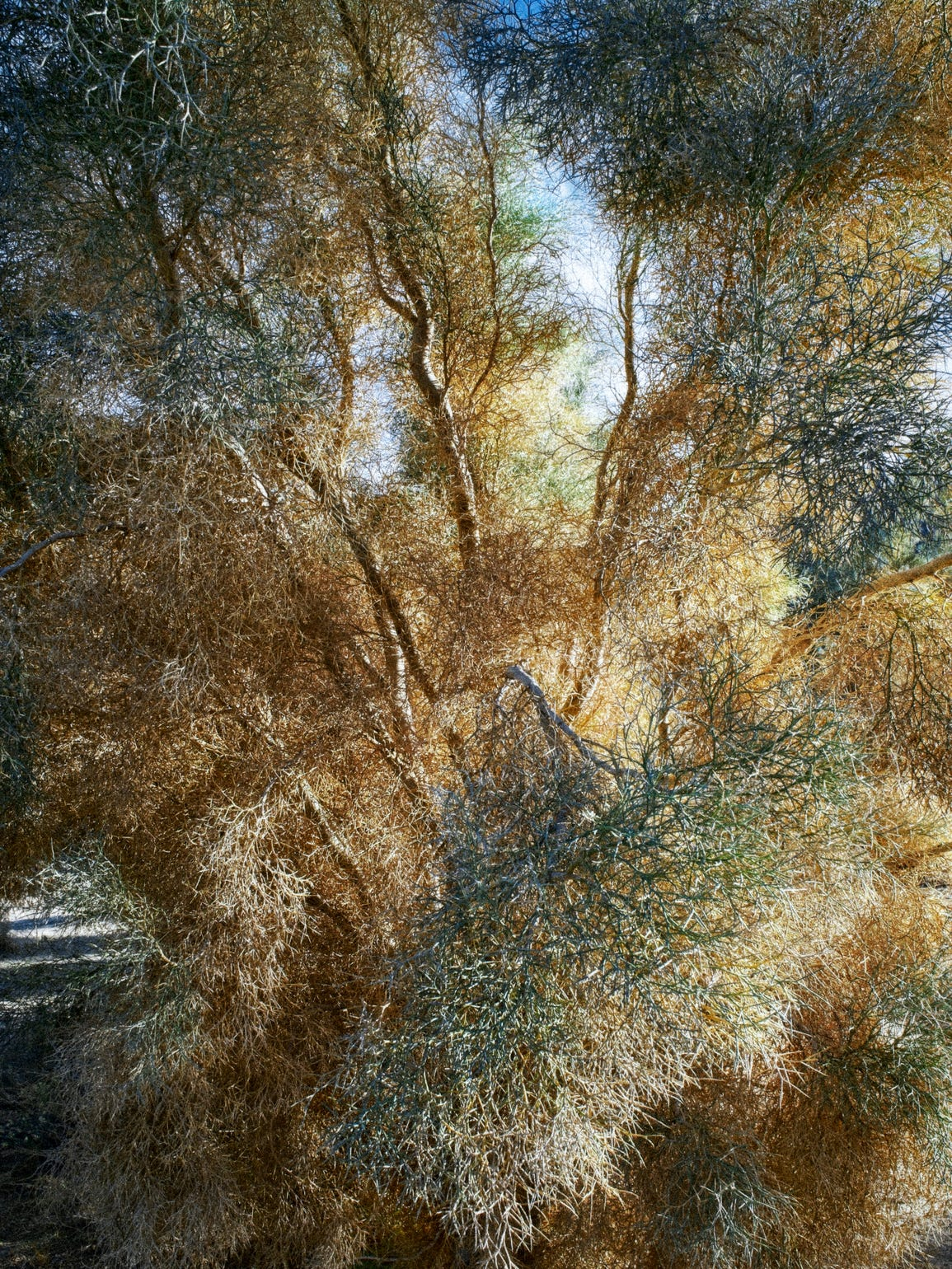 The appearance of the smoke tree in winter and other