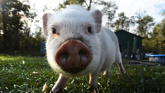 In a Nov. 20, 2017 photo, Templeton the pig roams at Cozy Critters Farm near Sour Lake, Texas. Rural animals continue to face issues of parasites, bacteria and trauma from Hurricane Harvey.