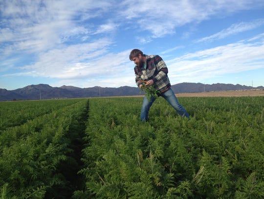 Farmer and artist Matthew Moore picks carrots at his