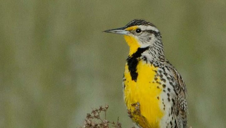 The song of the western meadowlark signals spring is