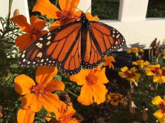primary photo - monarch butterfly