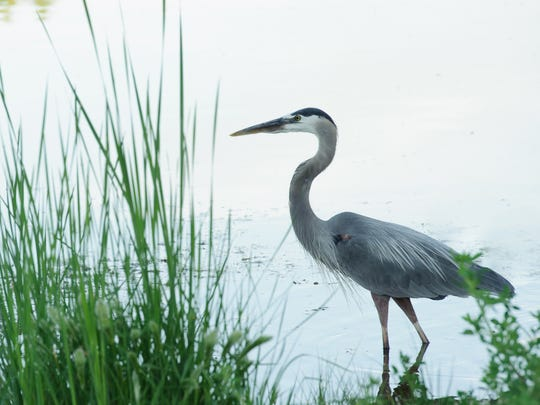 Great blue herons are year-round residents at Dead