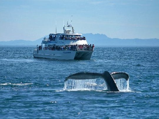 An above average number of whales got tangled in fishing gear, lines and debris off the United States in 2017, the most recent year of data.