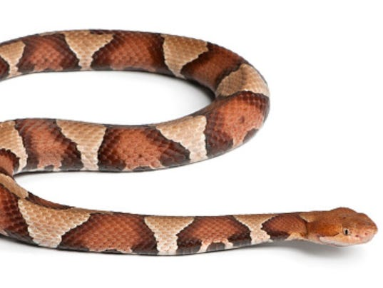 636419545250811455-636419398819439720-Copperhead.jpg