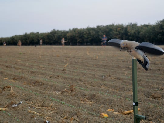 A decoy is used to attract doves over an open field