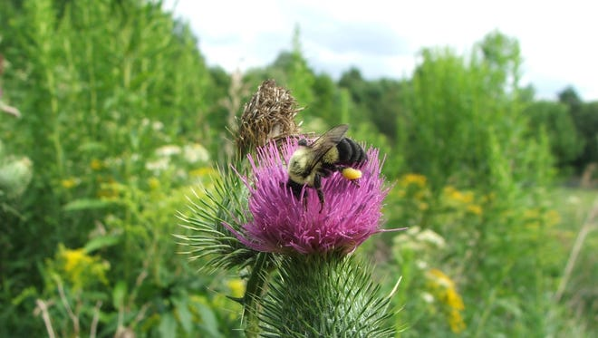 Learn about bumblebees at 10 a.m. June 7 at the Hudson Highlands Nature Museum.