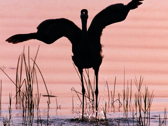 The sandhill crane, shown in a photo by Jim Miller, is one of  the birds protected by the Migratory Bird Treaty Act.