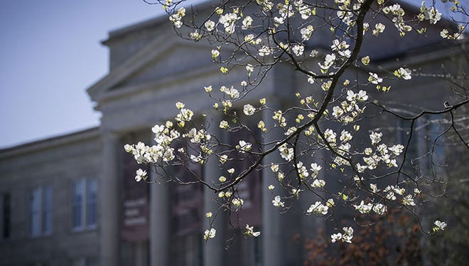 Dogwoods in bloom on the MSU campus, which has been recognized by the Arbor Day Foundation.
