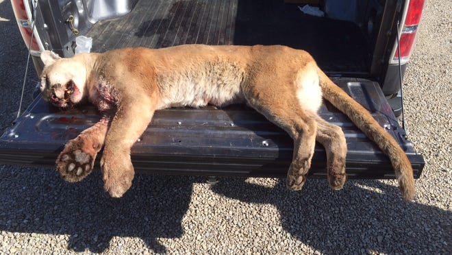 This mountain lion was hit by a vehicle in Laclede County early Tuesday. It measured 6 feet 8 inches from nose to tip of its tail.