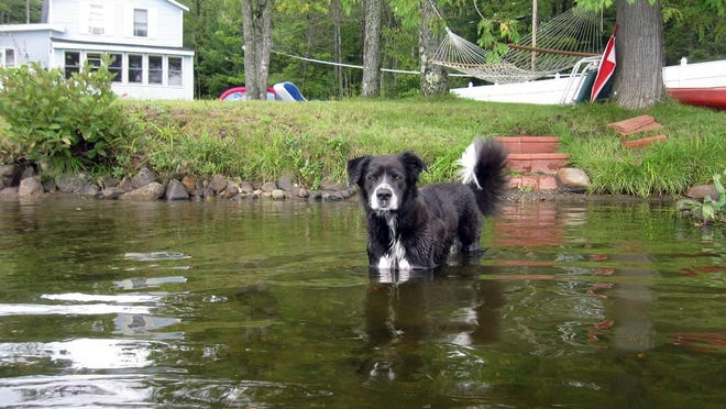 This August 2013 photo shows Buddy, a border collie mix, playing in a pond in Hartland, Maine. She was sprayed by a skunk a year later during her nightly run around the yard, but an Internet search revealed an effective solution for neutralizing the odor made from hydrogen peroxide, baking soda and liquid soap.