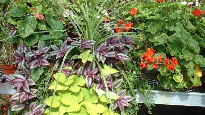 A basket with dracaena, potato ivy, wandering jew plants.