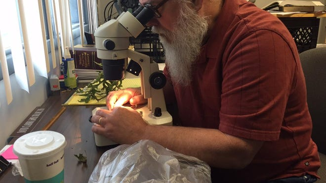 David Claborn, entomologist at MSU, examines oak leaves provided by News-Leader readers.